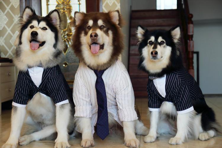 Домашнее животное большая собака собака галстук-бабочка костюм золото волосы бодхисаттва руб ура одежда крупных собак джентльмен преобразование наряд собака костюм платья